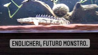 Coloquei o Polypterus Endlicheri no meu tanque principal.