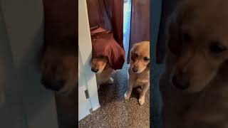 FC_Goldens | Undercover Pawgent looking for treats | Golden Retrievers #Shorts