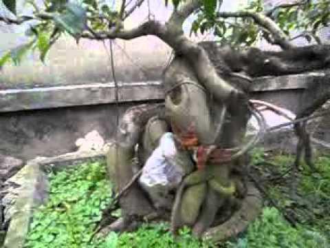 Cây cảnh đep,cay canh viet nam,cay canh bonsai