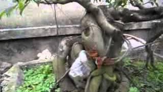 Video | Cây cảnh đep,cay canh viet nam,cay canh bonsai | Cay canh dep,cay canh viet nam,cay canh bonsai