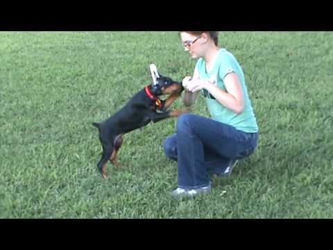 Doberman puppy training obedience 9 weeks old