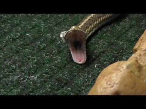 Wandering Garter Snake shedding