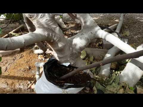 무화과 뿌리내리기, 더 쉬운 방법