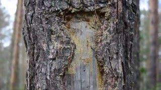 """Lymantria monacha Нашествие гусениц волнянки монашенки. Мордовия. Национальный парк """"Смольный"""""""
