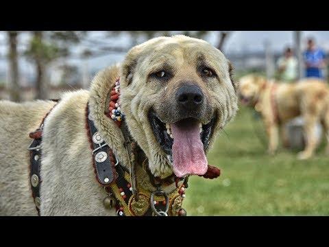 Çoban köpekleri, Türkiye Şampiyonası için yarıştırıldı