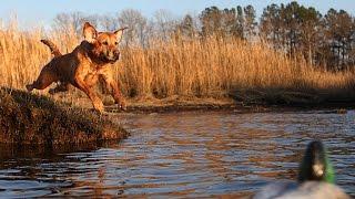 видео Комондор - венгерская овчарка - ZooPicture.ru