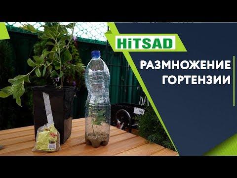 Как Правильно Черенковать Гортензию 🌺 Советы от Хитсад ТВ
