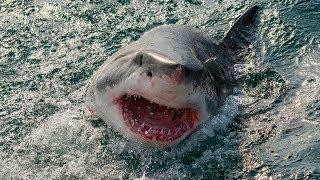 Warum Beißen Haie Menschen?