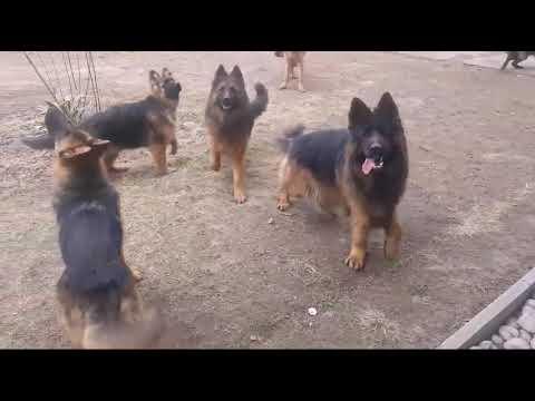 German shepherd long double coat breeding farm