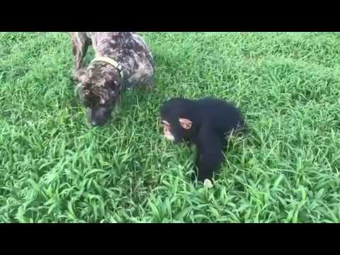 Baby chimpanzee playing with a dog