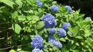 2018 .6.16.淡路島公園のアジサイ