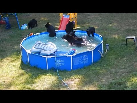 Bear Family Takes A Dip In Backyard Pool Youtube