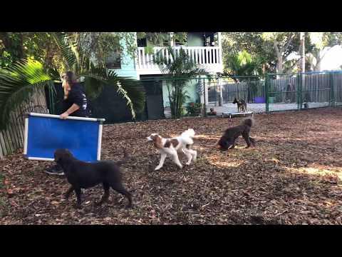 Barkley | Australian Labradoodle