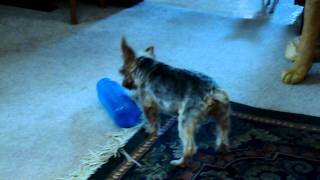 Einstein The Yorkie Exercising His Leg With Damaged Nerves