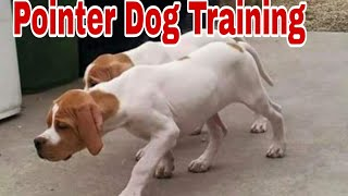Amazing Training Of Pointer Dog For Falconry, Pointer Pip's Training || Hunter Hunt