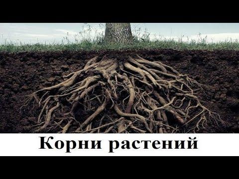Зри в корень растения. Оказывается, корни растений могут жить отдельно сами по себе!