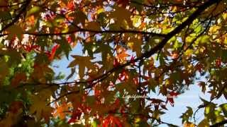 Liquidambar styraciflua 'Worplesdon' video