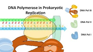 This video describes the reaction mechanism of dna polymerase in bacteria
