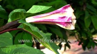 Datura metel is toxic : Traditional Chinese Medicine plant