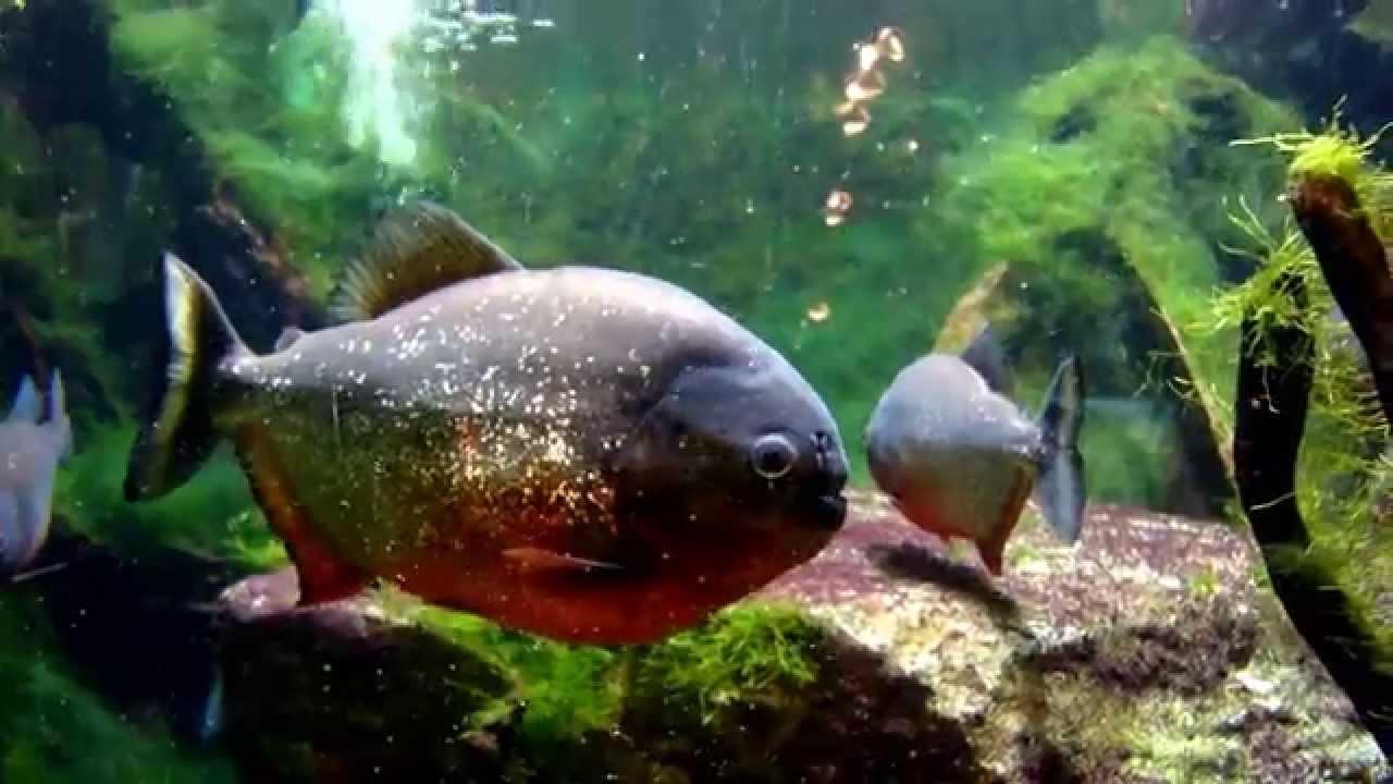 紅腹食人魚缸-- Red-Bellied Piranha (Pygocentrus Nattereri) Tank - YouTube