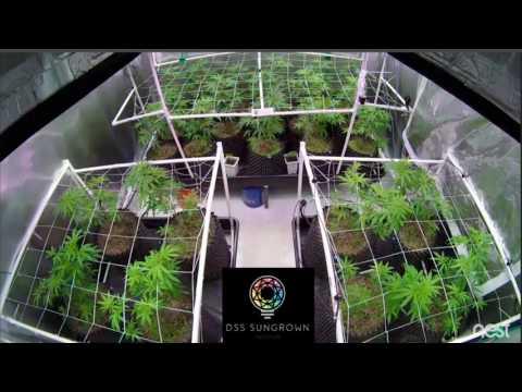 DSS SunGrown Indoor - Full Flower Timelapse - Fleurish Farms Ship