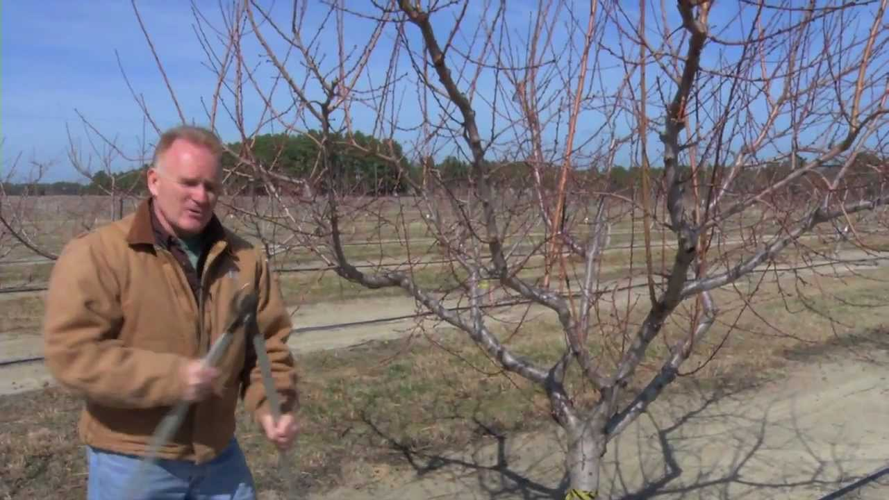 Pruning a Mature Peach Tree - YouTube