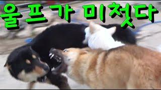 진돗개 부견 빡이한테,아양떨던 울프한테 벌어진일! #진…