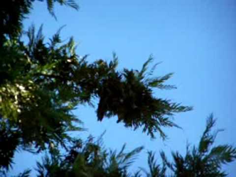 California Kite - Bird Of Prey