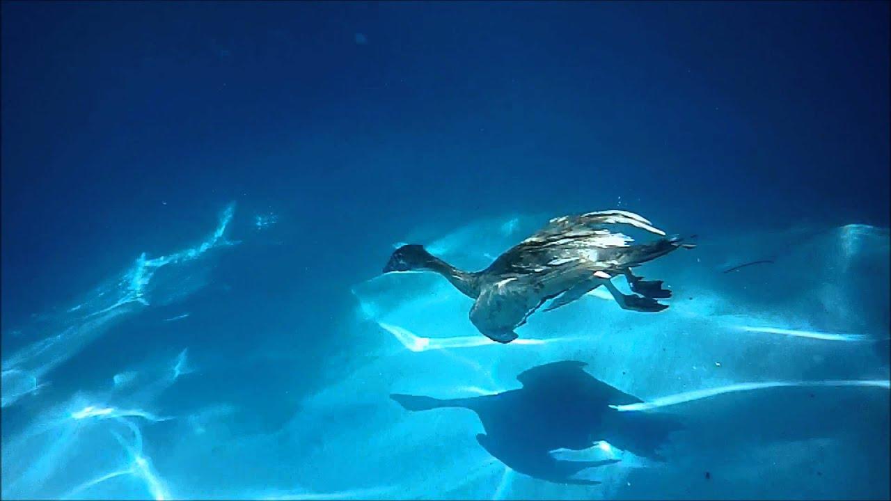 Australian Wood Duck swimming underwater - YouTube