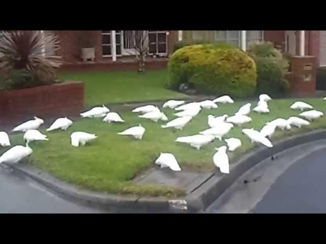 Australian Wild White Cockatoos