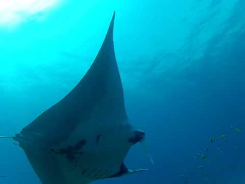 Manta Ray at Havelock | Scuba Diving in the Andamans | Dive India