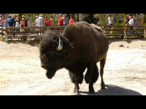 Yellowstone National Park - Bison grunts in the Mud Volcano area