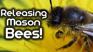 Releasing my Mason Bees!