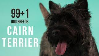 Cairn Terrier / 99+1 Dog Breeds
