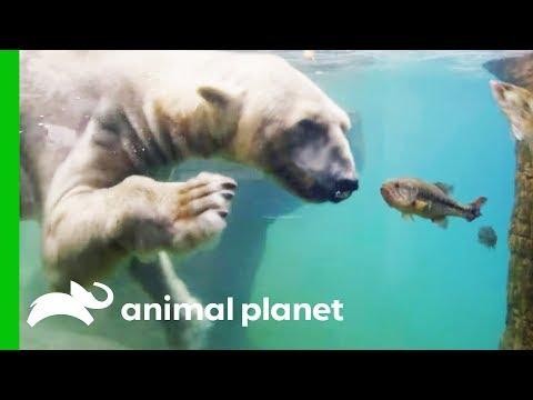 Polar Bears Show Off Their Hunting Abilities | The Zoo: San Diego