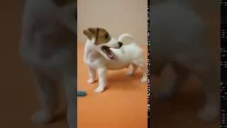 """До чего ж смешной малыш джек рассел!!!!!  Собака - улыбака. Танец """"Антошка"""""""