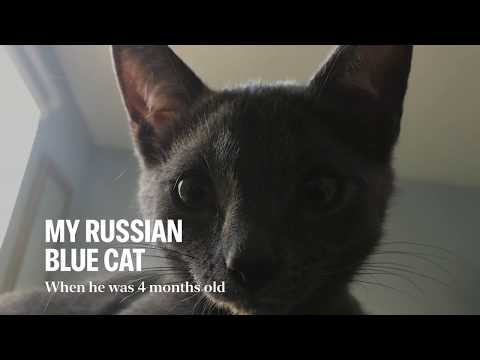 러시안블루 고양이   Russian Blue Cat