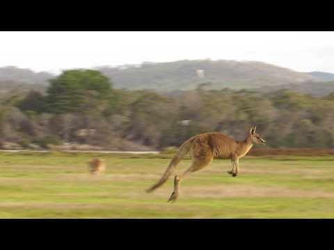 Serengeti Of Tasmania: Kangaroo