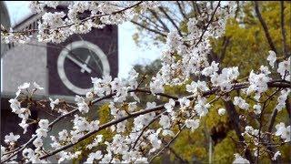 立命 きぬかけの桜