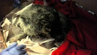 Miniature Schnauzer Giving Birth To First Puppy