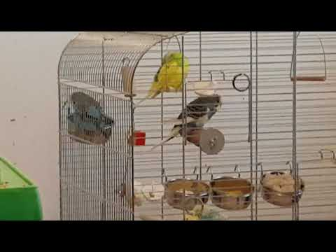 Budgies like brown rice