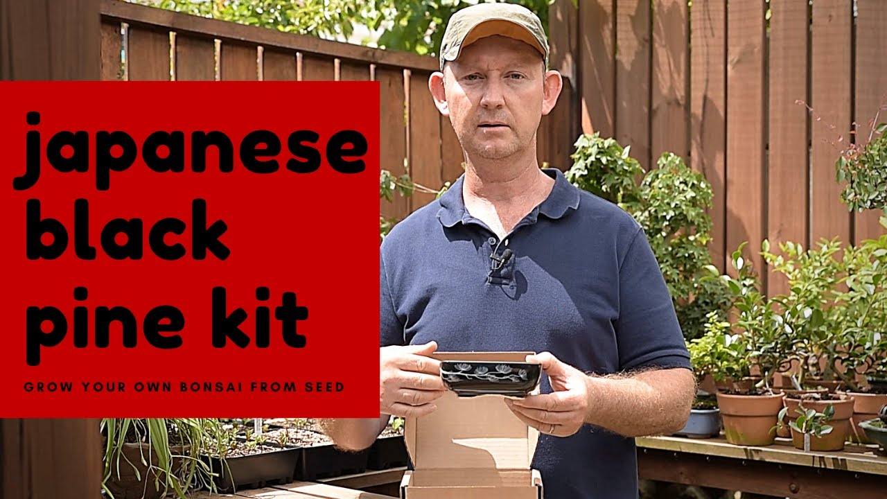 Japanese Black Pine Bonsai Growing Kit Youtube