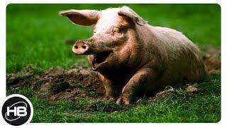 СВИНЬИ. 10 самых необычных фактов о свиньях...