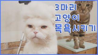 고양이 3마리 목욕시키기