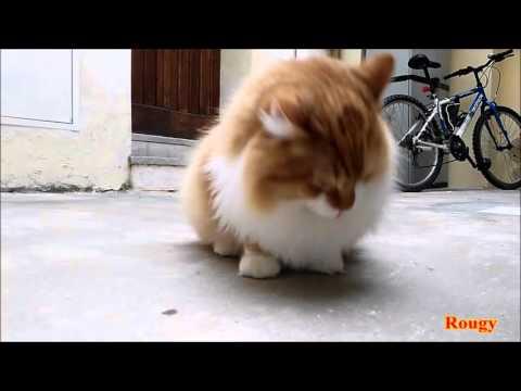 Siberian Cat, Rougy Vs Ragno
