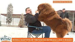 Boss, cel mai tare Mastiff Tibetan din lume. Acesta are sofer si masina personala