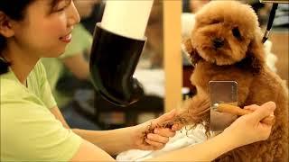 トイプードル リオン のカットチェンジ poodle  trimming japanesestyle  cutecut