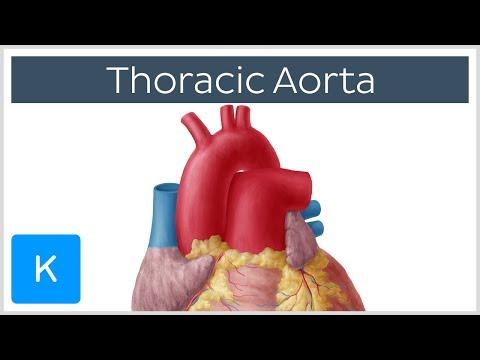 Thoracic (Descending) Aorta - Anatomy and its Branches  - Human Anatomy |Kenhub