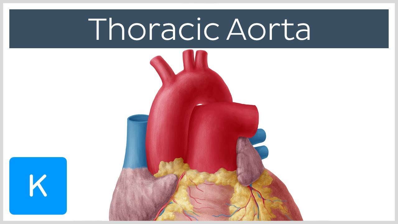 Thoracic (Descending) Aorta: Anatomy & Branches | Kenhub - YouTube