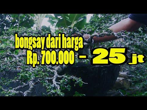 Kumpulan Bonsai Serut Inspirasi Dari Mulai Hara 700 Ribu Sampai Ada Yang Milyaran